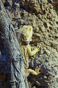 Bearded Dragon, Animal, Reptile, Lizard, Nature