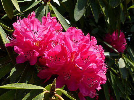Rhododendron, Pink, Azalea, Bloom, Spring, Nature