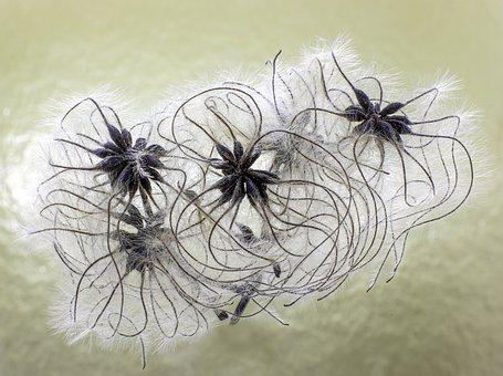 Wild Clematis, Old Man's Beard, Seed-head, Wildflower