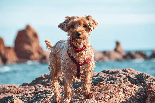 Dog, Yorkie, Puppy, Cute, Pet, Animal, Terrier, Small