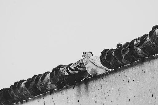 Pigeons, Birds, Sit, Series, Wall, Rest, Group
