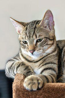 Cat, Mackerel, Lying, Play Kitten, Domestic Cat, Pet