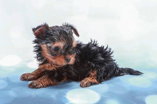 York, Terrier, Yorkshire, Baby, Beautiful, Playful, Pat