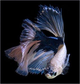 Carp, Koi Fish, Red, Animal, Beta Fish, Black Animals