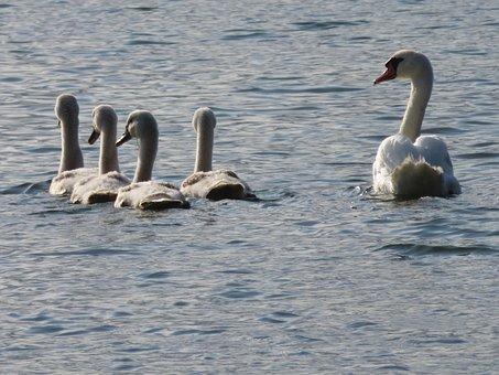 Swans, Family, Birds, River, Saône