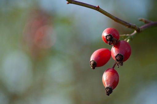 Rose Hip, Autumn, Fruit, Autumn Fruits