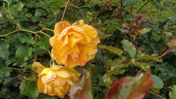 Roses, Rose, Flower, Tampere, Arboretum