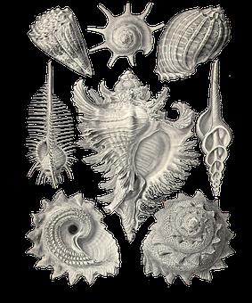 Seashells, Nature, Art Forms In Nature, Ernst Haeckel