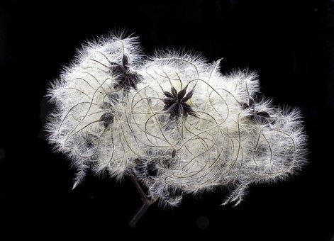 Wild Clematis, Old Man's Beard, Seed-head, Wildflower