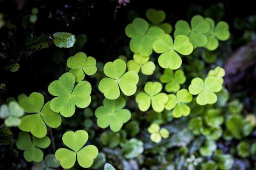 Klee, Sorrel, Common Wood Sorrel, Oxalis, Lucky Clover