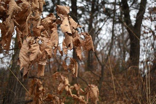 Dry, The Leaves, Winter, Acorn, Wood, Tree, Dry Leaves