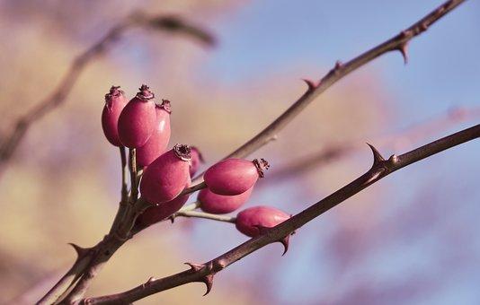 Rose Hip, Thorns, Spur, Wild Rose, Fruits, Roses