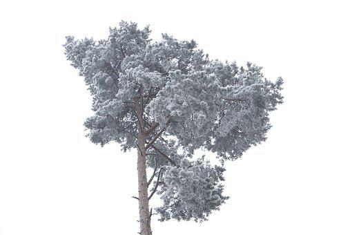 Pine, Crown, Fog, Hoarfrost, Frost, Cold, Frozen, Tree