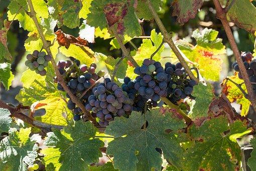 Grapes, Vines, Wine, Vineyard, Winegrowing, Grapevine