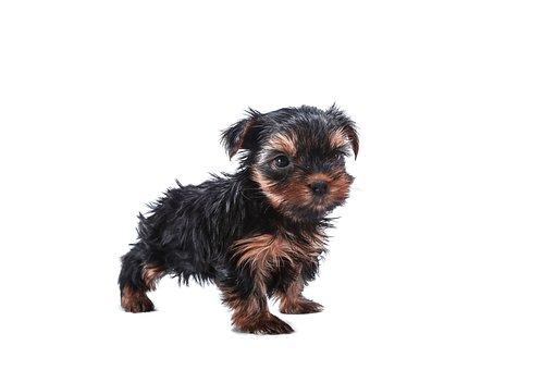 Dog, Yorkie, Animals, Sweet, Puppy, Portrait, Beautiful