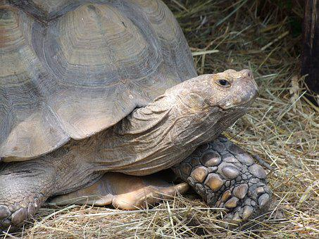 Turtle, Reptile, Amphibian, Tortoise