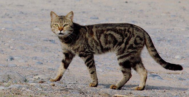 Cat, Wild, Tiger, Animal, Safari, Nature, Zoo, Wildlife