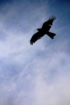 Bird, Eagle, Rapacious, Flight, Sky, Nature, Majestic