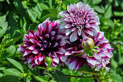 Filled Dahlias, Dahlia, Blossom, Bloom, Plant