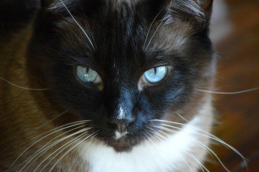 Cat, Cat's Face, Blue Eyes, Snowshoe Siamese, Portrait