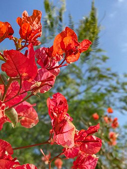 Flowers, Shrubs, Bougainvillea, Flowering, Flora