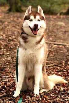 Siberian Husky, Husky, Dog, Animal, Pet, Domestic