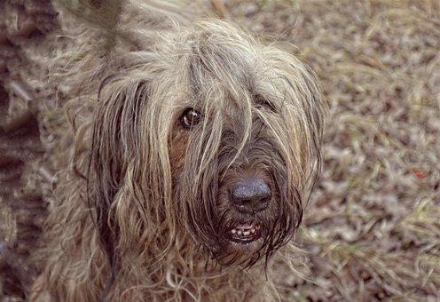 Dog, Pet, Cute, Fur, Mammal, Briard, Fearless