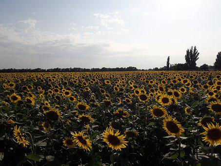 Sunflowers, Field, Sunflower, In The Summer Of, Yellow