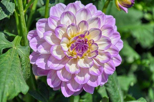 Filled Dahlia, Dahlia, Blossom, Bloom, Plant
