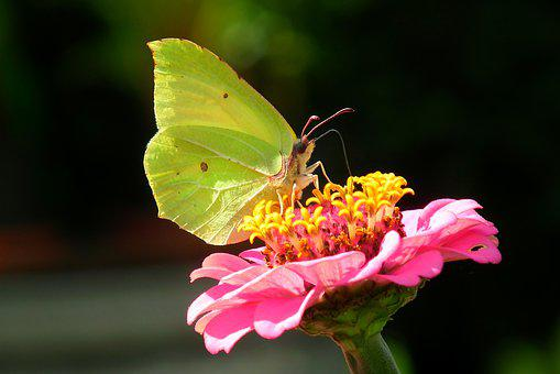 Butterfly, Sulphur Butterfly, Insect, Nature, Flower