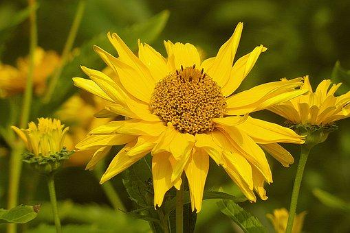 Słoneczniczek Rough, Złotożółty, Yellow, Sunny, Flowers