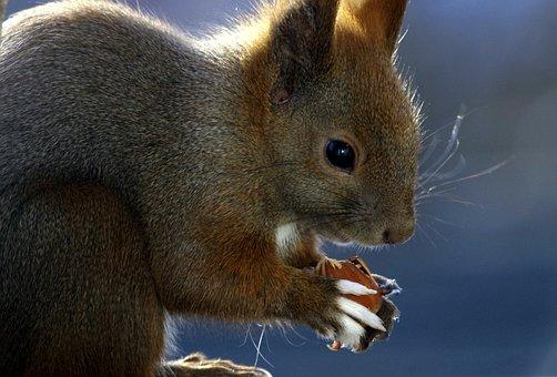 Squirrel, Animal, Food, Fur, Nager, Nut, Eat