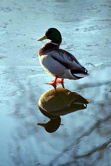 Duck, Frozen, Bird, Water, Ice Rink, Pond, Cold, Frost