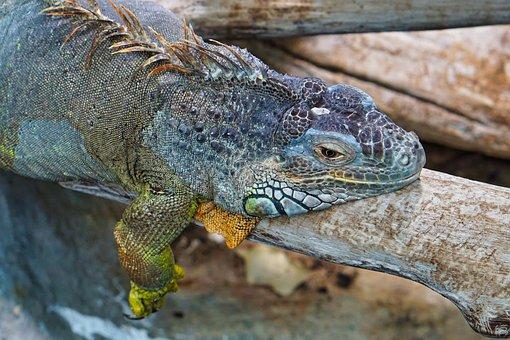 Lizards, Color, Head, Close Up, Iguana, Reptile, Scale