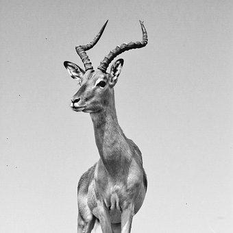Impala, Antelope, Males, Impala Buck, Bock