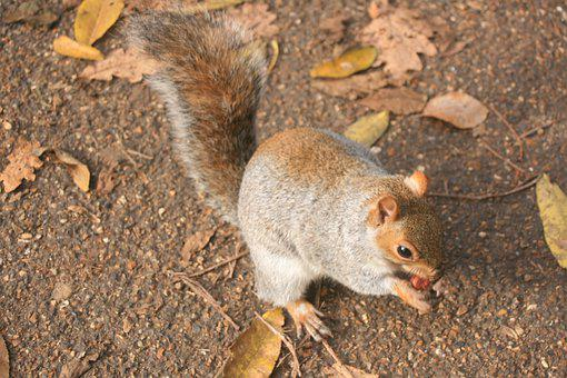 Squirrel, Hazelnut, Autumn, Leaves, Hunting