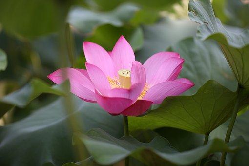Lotus, Festival, Flowers, The Festival's, Love, Free