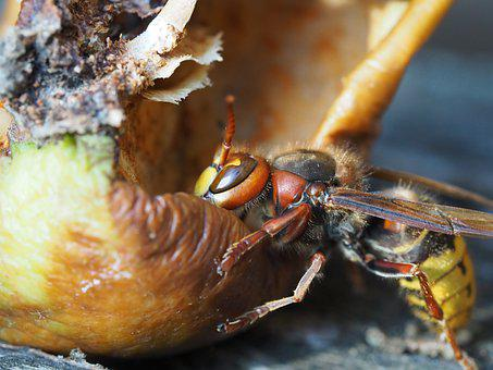 Hornet, Insect, Nature, Macro, Animal World