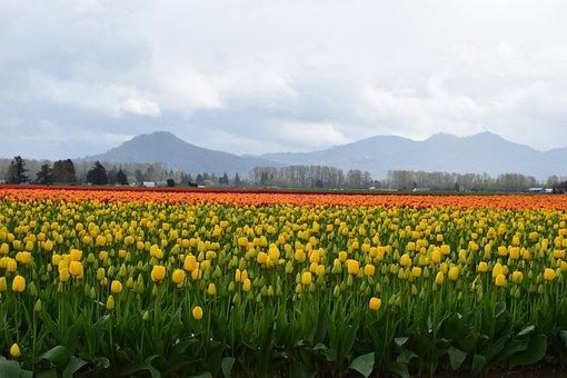 Yellow, Red, Tulip, Field, Orange, Spring, Mountain