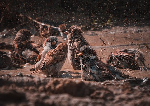 Bird, Sparrow, Water, Swim, Mud, Nature, Animal