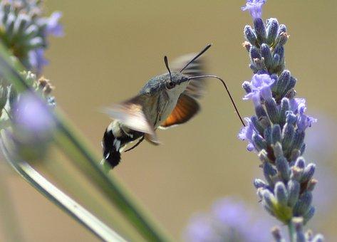 Hummingbird Hawk-moth, Butterfly, Bug, Nature