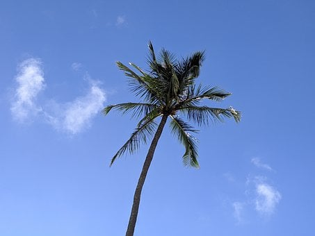 Palm Tree, Kauai, Hawaii, Tropical, Nature, Island