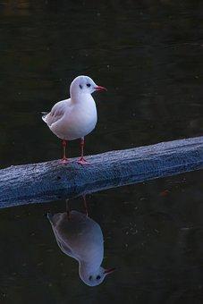Seagull, Mirroring, Water, Pond, Lake, Bird, Nature