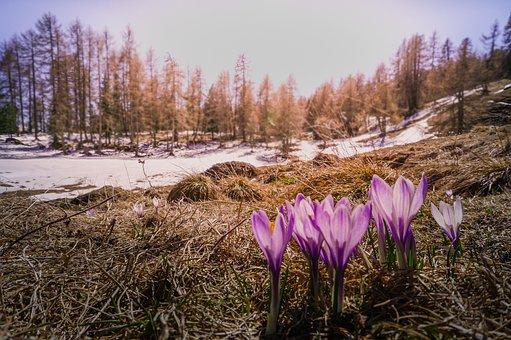 Crocus, Flowers, Spring, Nature, Frühlingsanfang, Flora