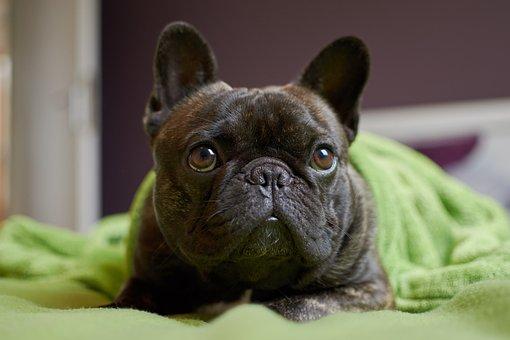 French Bulldog, Dog, Bulldog, Portrait, Nose, Animals