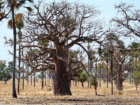 Senegal, Baobab, Forest, Savannah, Palm Trees, Dry