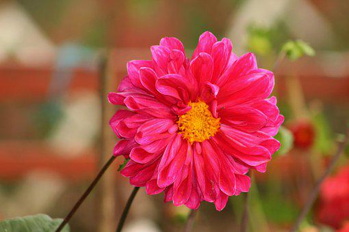 Dahlia, Flower, Blossom, Nature, Bloom, Petals, Pink