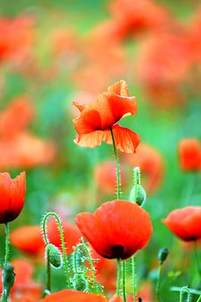 Poppy, Klatschmohn, Field Of Poppies, Red, Flower