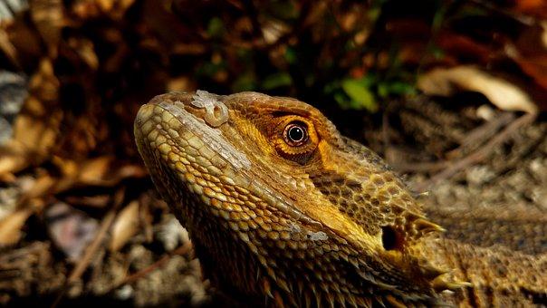 Bearded Dragon, Lizard, Reptile, Dragon, Animal