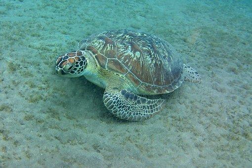 Sea Turtle, Water Turtle, Turtle, Water, Animal